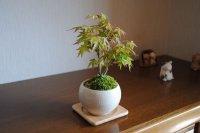 細かな葉が美しい 清姫もみじのミニ情景盆栽【瀬戸焼小鉢・白】☆数量物☆