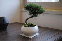盆栽といえば松! 五葉松の情景盆栽