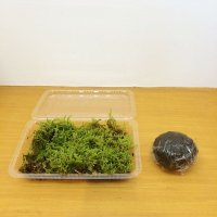 作って楽しい!天然苔 苔玉作りセット 1個分【育て方説明書付】