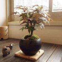 紅葉が美しい 出猩々もみじのミニ情景盆栽【瀬戸焼小鉢・黒】☆数量物☆