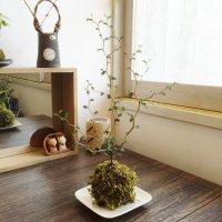 ソフォラミクロフィラの苔玉・皿付