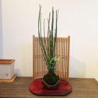 トクサと姫笹の苔玉【信楽皿付】