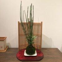 トクサと姫笹の苔玉・皿付