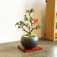 送料無料! 年に数回花が咲きます。長寿梅の情景盆栽 【鉢色・黒or白】
