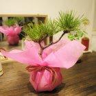 他の写真2: 満開が見事!一才桜(旭山桜)の情景盆栽【デザイン鉢・色を2色から選べます】