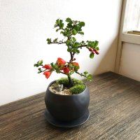 年に数回花が咲きます。長寿梅の情景盆栽【デザイン鉢・皿付 白or黒】☆数量物☆