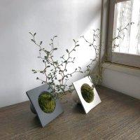 ソフォラミクロフィラの苔玉と素敵な器のセット【白or黒】