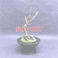 大輪八重咲 満開が見事です!南殿桜の情景盆栽【デザイン鉢・ブラック】☆数量物☆