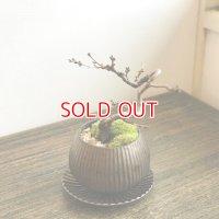 冬と春に咲く 十月桜の情景盆栽 【デザイン鉢・ブロンズ】☆数量物☆