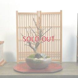 画像1: 紅梅(大盃)の情景盆栽 【瀬戸焼鉢】☆1点物☆ 濃紅花一重