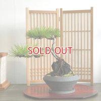 石付け赤松の情景盆栽 【デザイン鉢】☆1点物☆