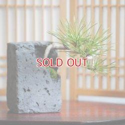 画像1: 黒松の情景盆栽 【溶岩風角鉢】☆1点物☆