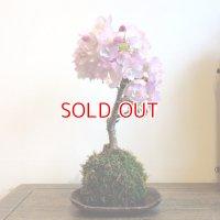 心を奪われる美しさ…旭山桜の苔玉【受け皿なし】☆数量物☆
