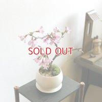 おかめ桜の情景盆栽【デザイン鉢・色】早咲き品種☆数量物☆